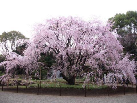 しだれ桜のある景色