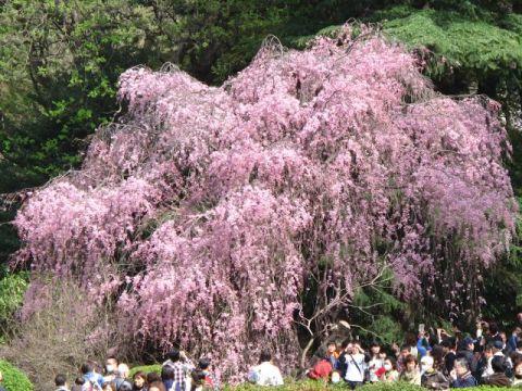 満開の紅しだれ桜
