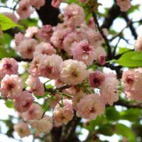 地名のついた桜