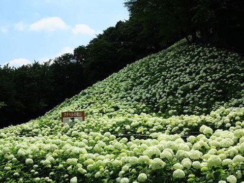 東京サマーランドあじさい園