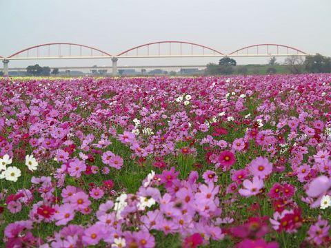 鴻巣・荒川河川敷のコスモス畑(1)