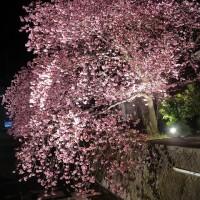 河津桜の名木から。
