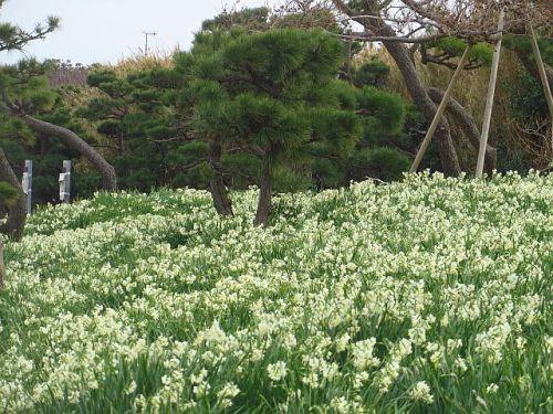 城ヶ島の八重水仙