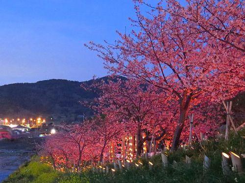 鋸南町の頼朝桜(3終)~竹灯篭まつり