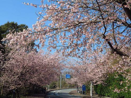 伊豆高原のおおかん桜