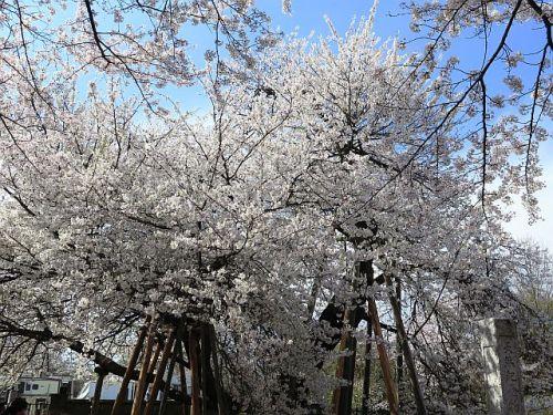 高崎線沿線の桜めぐり