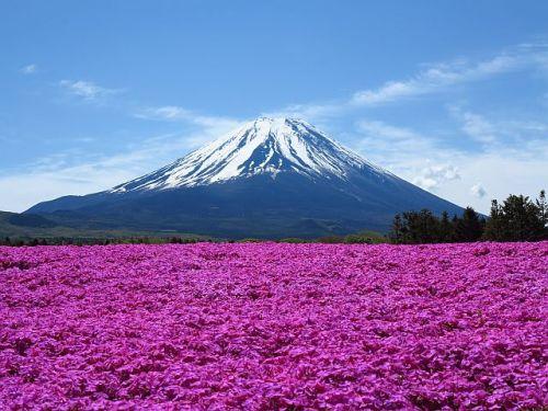 富士山もいろいろ、芝桜?