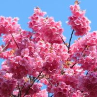 白とピンクの土肥桜