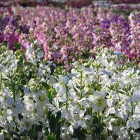 館山のポピーと千倉のお花畑