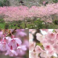 根府川に咲くおかめ桜