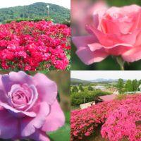バラ園めぐり(5)~茨城県フラワーパーク