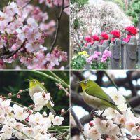 鎌倉・長谷寺の梅・河津桜など