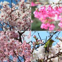 満開の高遠小彼岸桜など