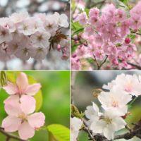 新宿御苑の里桜(前編1)