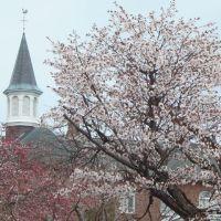 函館・桜ヶ丘通りとトラピスチヌ修道院の桜