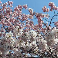 森町の桜(後編)~オニウシ公園