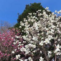 札幌・北海道神宮と円山公園の桜(後編)