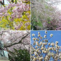 札幌・北海道大学の桜