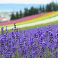 中富良野・ファーム富田のラベンダーと花景色(2)