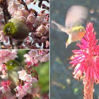 城ヶ崎の菜の花と早咲き桜