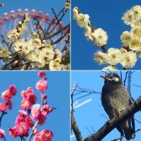 葛西臨海公園の水仙と早咲きの梅