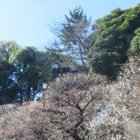 皇居東御苑の椿寒桜と梅