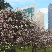 浜離宮恩賜庭園の寒緋桜と梅