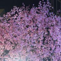 新日本橋のおかめ桜