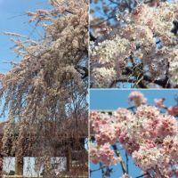 府中・東郷寺のしだれ桜