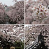 神田川(面影橋)の満開の桜