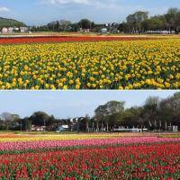 羽村の満開のチューリップ畑(前編)