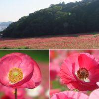 くりはま花の国のシャーレーポピー