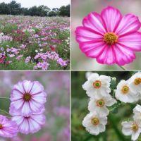 昭和記念公園の花の丘のコスモス