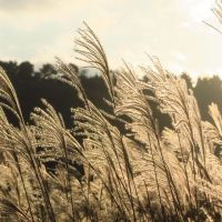晩秋の稲取細野高原のススキ