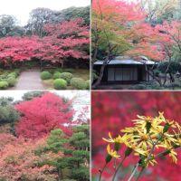 旧古河庭園の日本庭園の紅葉