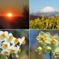 二宮・吾妻山公園の冬の菜の花