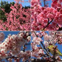 土肥各所の土肥桜