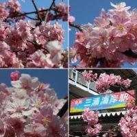 三浦海岸の見頃の河津桜(1)