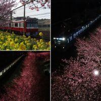 三浦海岸の見頃の河津桜(2)