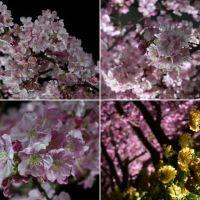 三浦海岸の見頃の河津桜(3終)