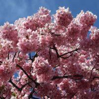 河津の見頃の河津桜(1)