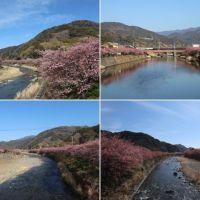 河津の見頃の河津桜(2)