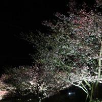 河津の見頃の河津桜(5終)
