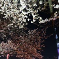 浅草寺・隅田公園の夜桜