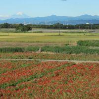 鴻巣のシャーレーポピー畑と富士山
