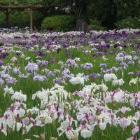 横須賀しょうぶ園の見頃の花菖蒲
