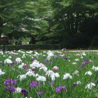 鎌倉のあじさい(3終)~明月院