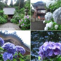 栃木・太平山神社の見頃のあじさい